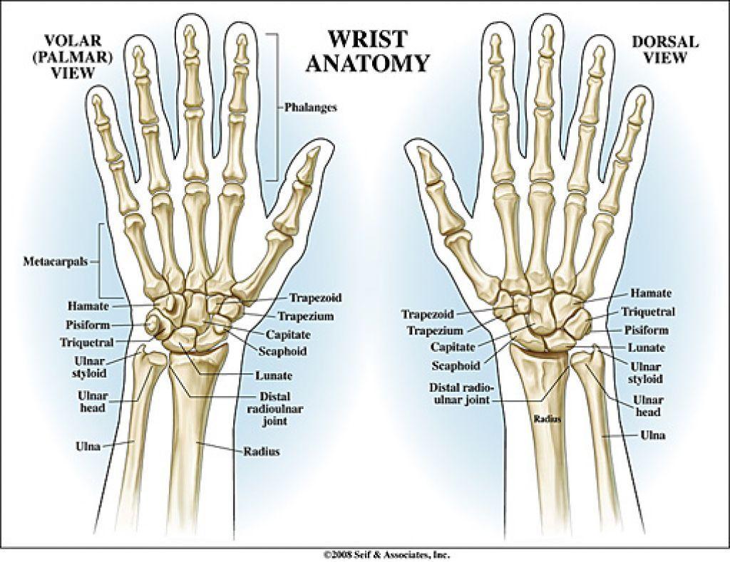 human hand bones anatomy - pesquisa google | corpo humano - ossos, Cephalic Vein