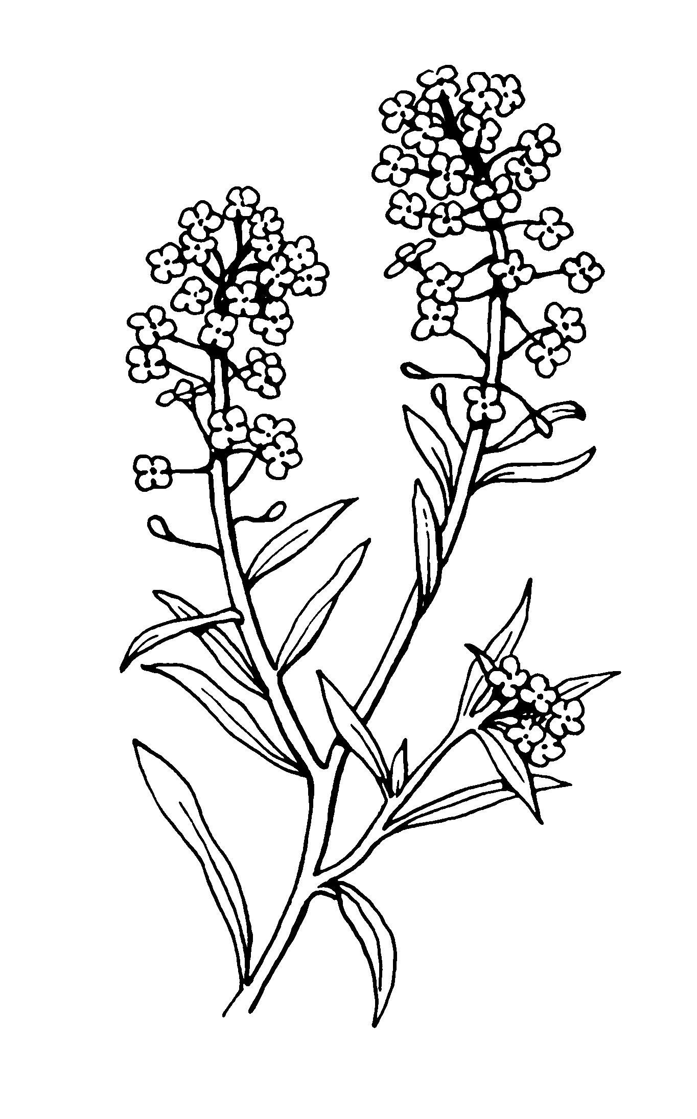 Sweet Alyssum Drawing