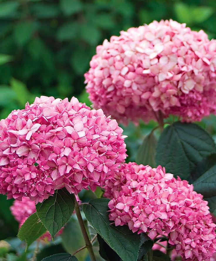 Pianta Fiori Rosa.Ortensia Invincibelle Hydrangea Arborescens Sviluppa Grandi