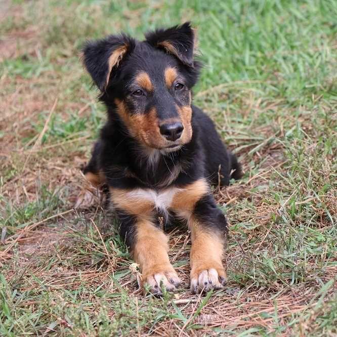 Despite the name, the Australian Shepherds were originated