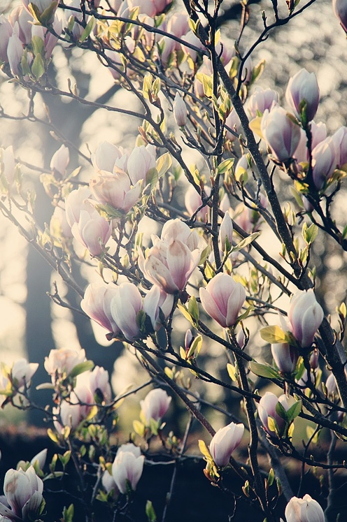 Blossoms Great Job Capturing The Essence Of The Sense Of Spring Mit Bildern Magnolien Schone Blumen Flowerpower