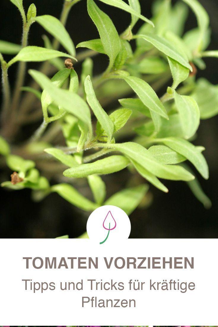 Tomaten Aussaen So Gelingt Die Anzucht Tomaten Pflanzen Wann Pflanzen Nutzgarten Anlegen