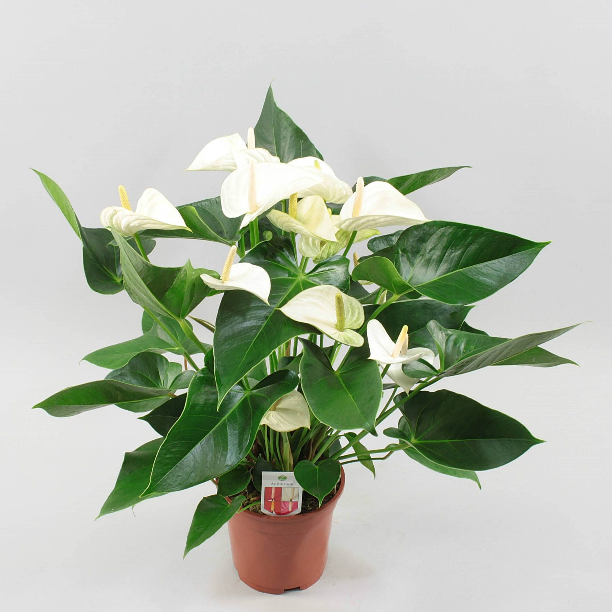 Anthurium Andr White Winner O17cm