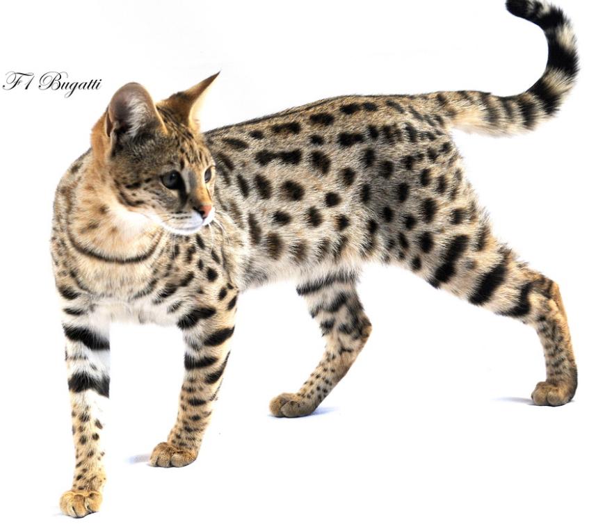 Stylisticat International Savannah Cats F1 F2 Savannahs