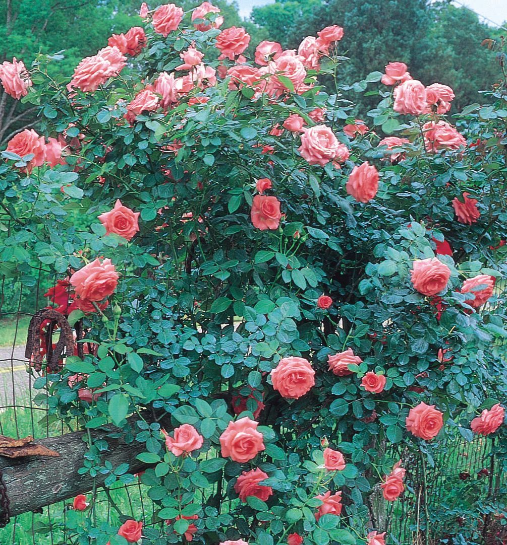 America Climbing Rose A Highly Rated Rose With Coral Pink Blooms