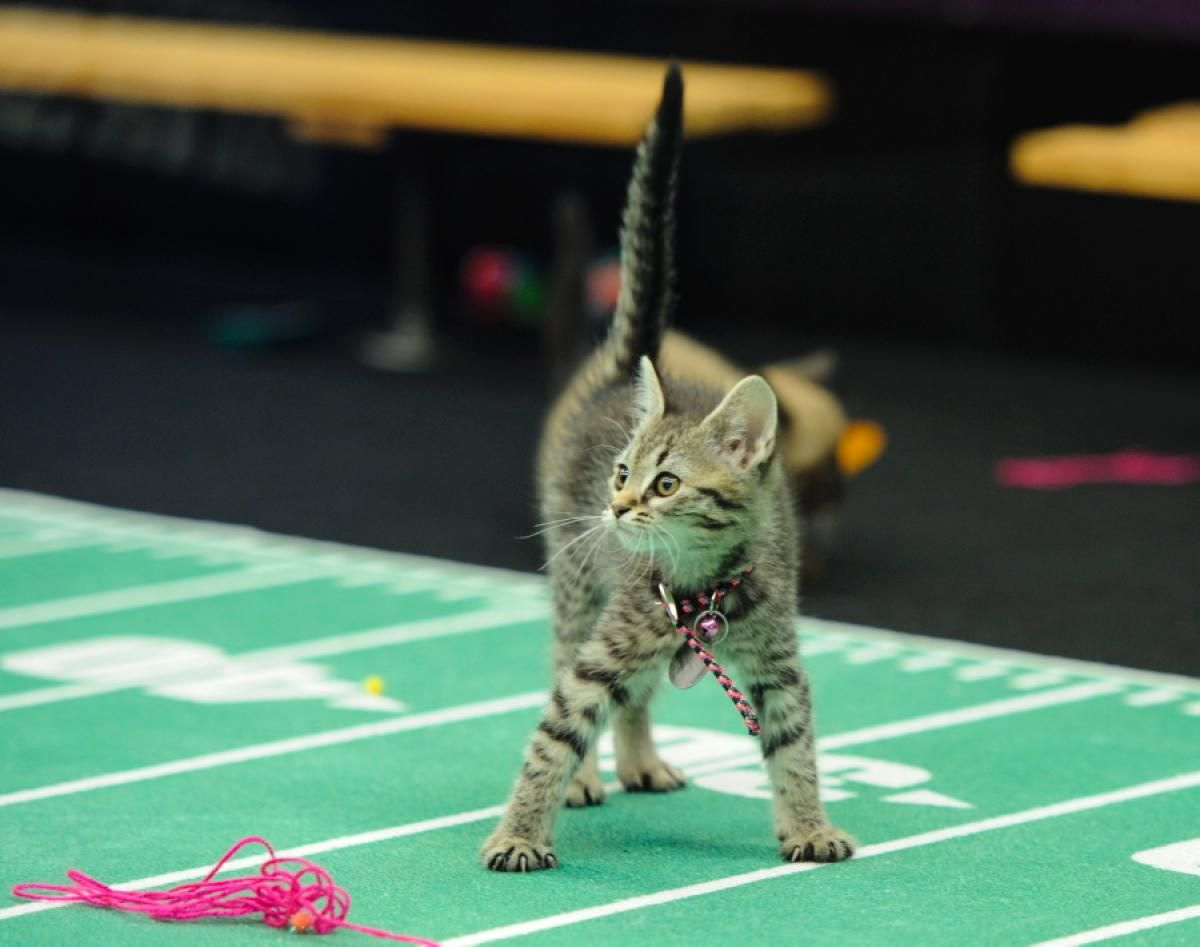 Kitten Bowl Is The Greatest Feline Showdown In Cable Television History The Competition Will Consist Of Two Preliminary P Kitten Bowls Kitten Animal League