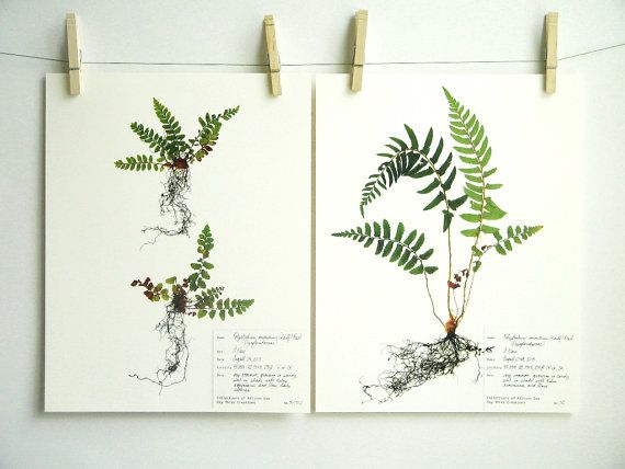 Baby Fern Print Set Herbarium Specimen Art, Pressed Plant Art, Pressed Fern Art, Scientific Wall Art Set, Green Nursery Decor, nos. 51, 52