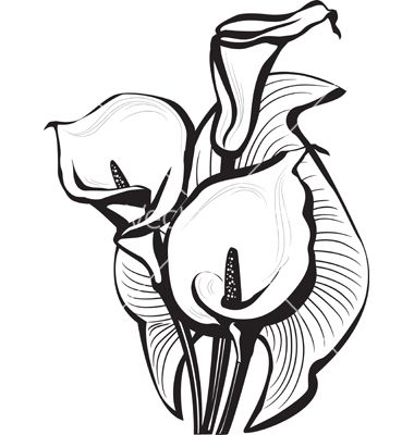 Calla Lilies Drawing Sketch Of B Calla Lilies Flowers B Vector