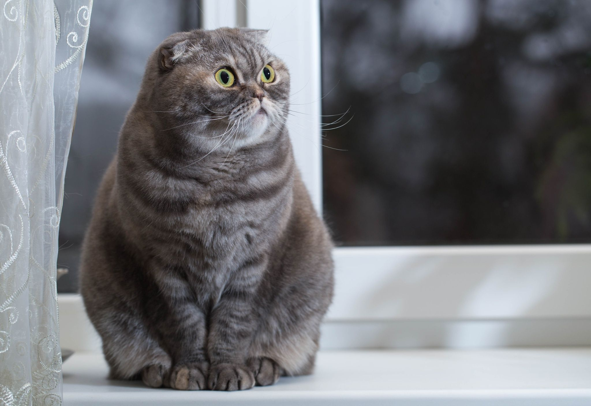 Scottish Fold. by Sergey Filonenko on 500px Cat scottish