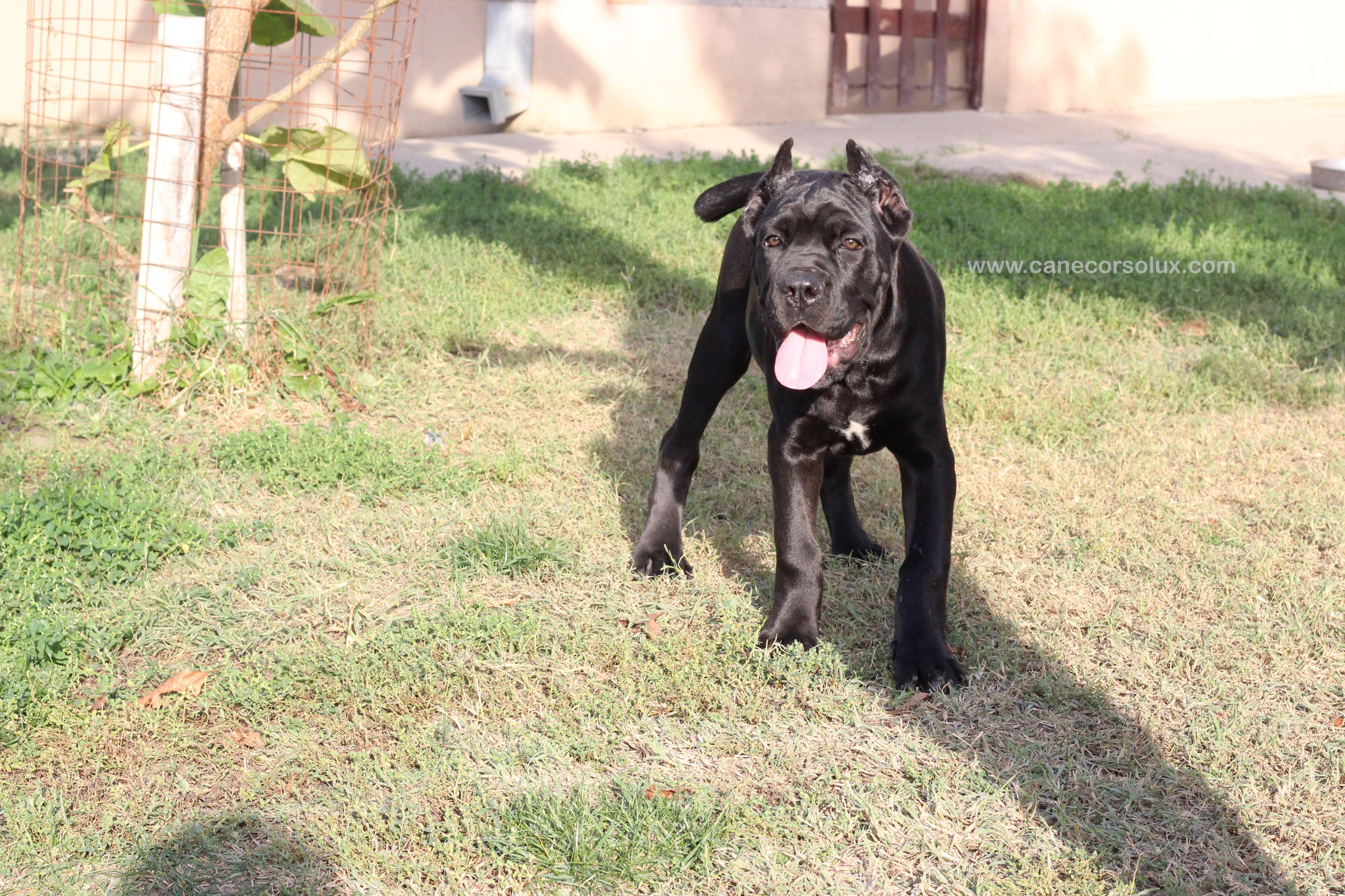 Cane Corso Europe Cane Corso Puppy Kennel Cane Corso Kennel