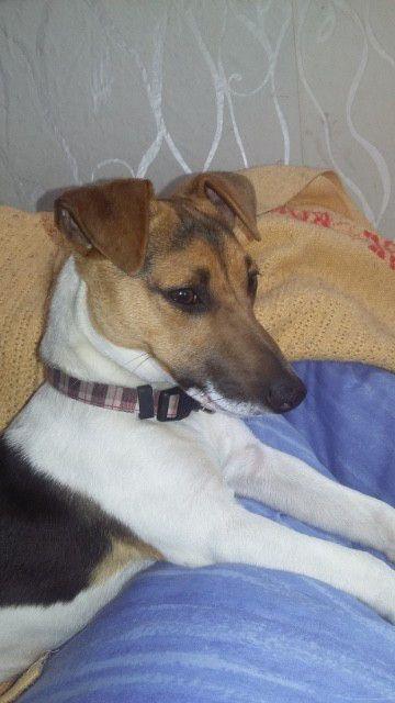Lucien Alias Speed Lulu Jack Russell Terrier Scottish Terrier