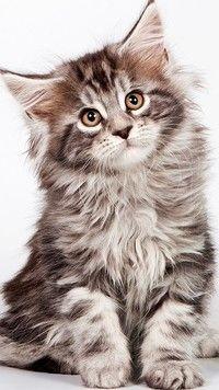 Kotek kłębuszek