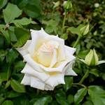 The Caroline de Monaco is a Hybrid Tea rose that blooms repeatedly with slightly... -  The Caroline de Monaco is a Hybrid Tea rose that blooms repeatedly with slightly scented cream colo - #blooms #caroline #exoticflowers #flowershops #hibiscus #hybrid #hybridtearoses #monaco #orchids #ranunculus #repeatedly #Rose #slightly #Tea