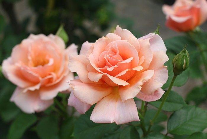 冬冬玫瑰網-商品詳情-甜美杏子