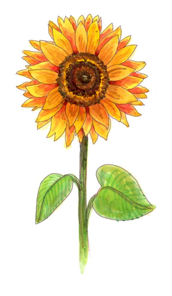 Drawing A Sunflower Sunflower Drawing Flower Drawing Images Sunflower Painting
