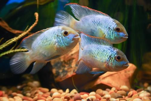 picture of Electric Blue Acara Lrg Aequidens pulcher | Fish