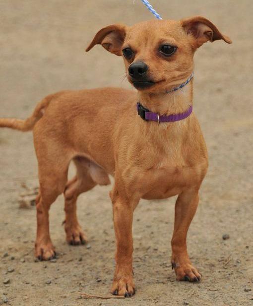 Adopt Wilson 8 2 16 On Dog Breed Names Dachshund Mix Chiweenie