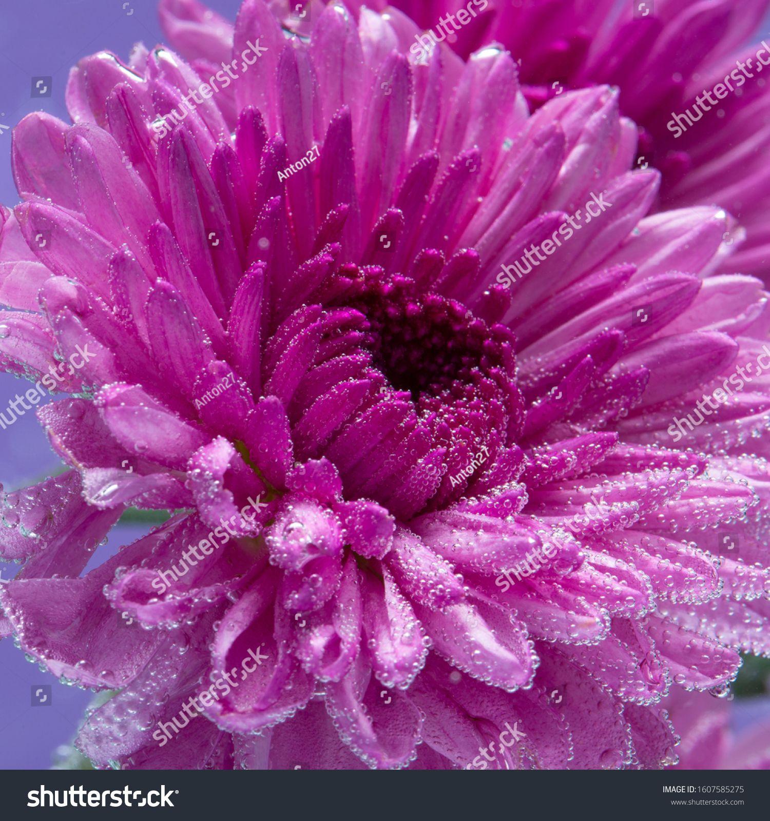 Purple Chrysanthemum Flower Underwater Space Royalty Free Image Photo In 2020 Chrysanthemum Flower Chrysanthemum Flowers