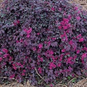 Loropetalum Purple Majesty Google Search Plants Pinterest