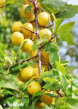 le prunier quel arbre fruitier choisir pour votre jardin famille notre temps jardinage. Black Bedroom Furniture Sets. Home Design Ideas