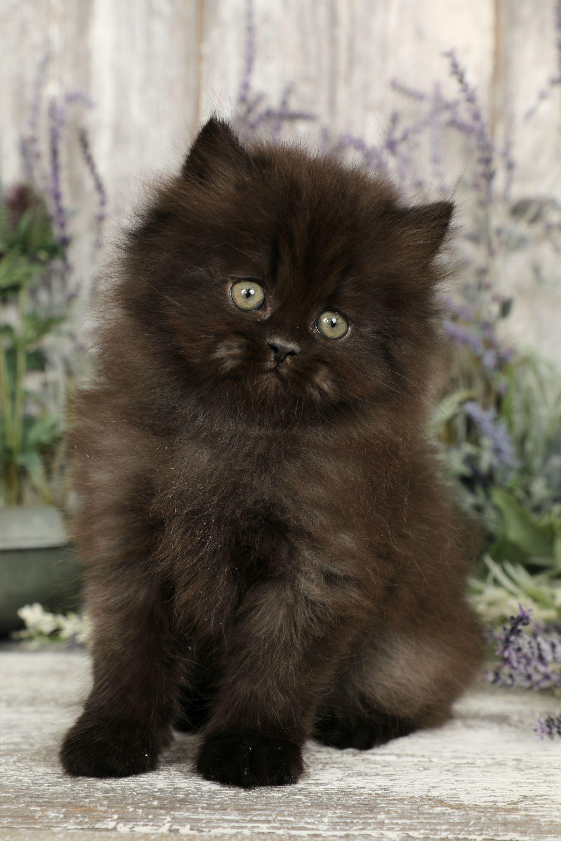 Black Persian Kittens Persian Kittens Persian Cat Persian Cat Doll Face