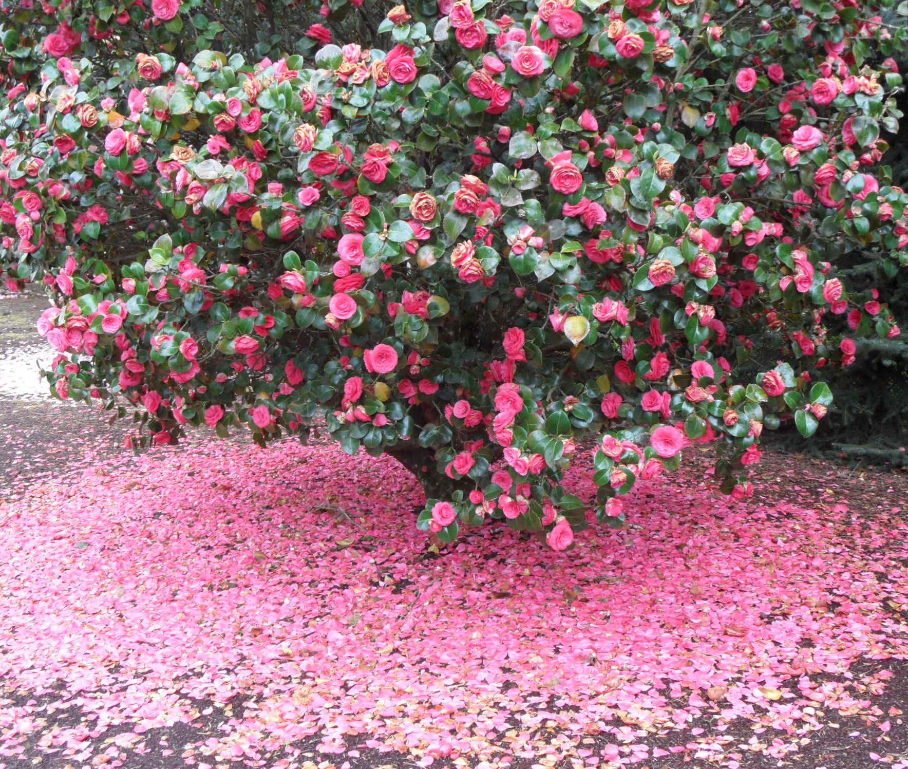 A Beautfiul Camelia Bush Shedding Its Petals Want This In My Bare Backyard Camellia Flower Flowering Bushes Indoor Flowering Plants