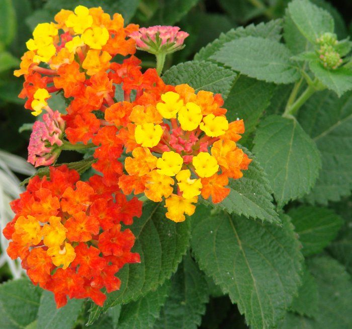 Lantana Very Typical In Fl Tanaman Tembelekan Bunga