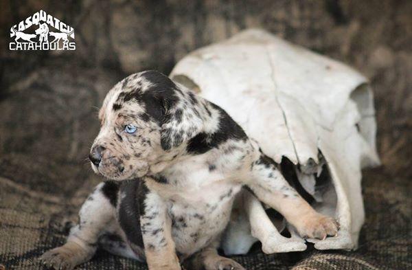 War Machine Blue Leopard Catahoula Leopard Dog Sasquatch Puppies