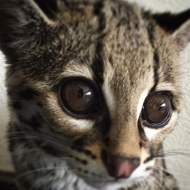 "White Jaguar Cat: Black Jaguar-White Tiger On Instagram: ""The Princess"