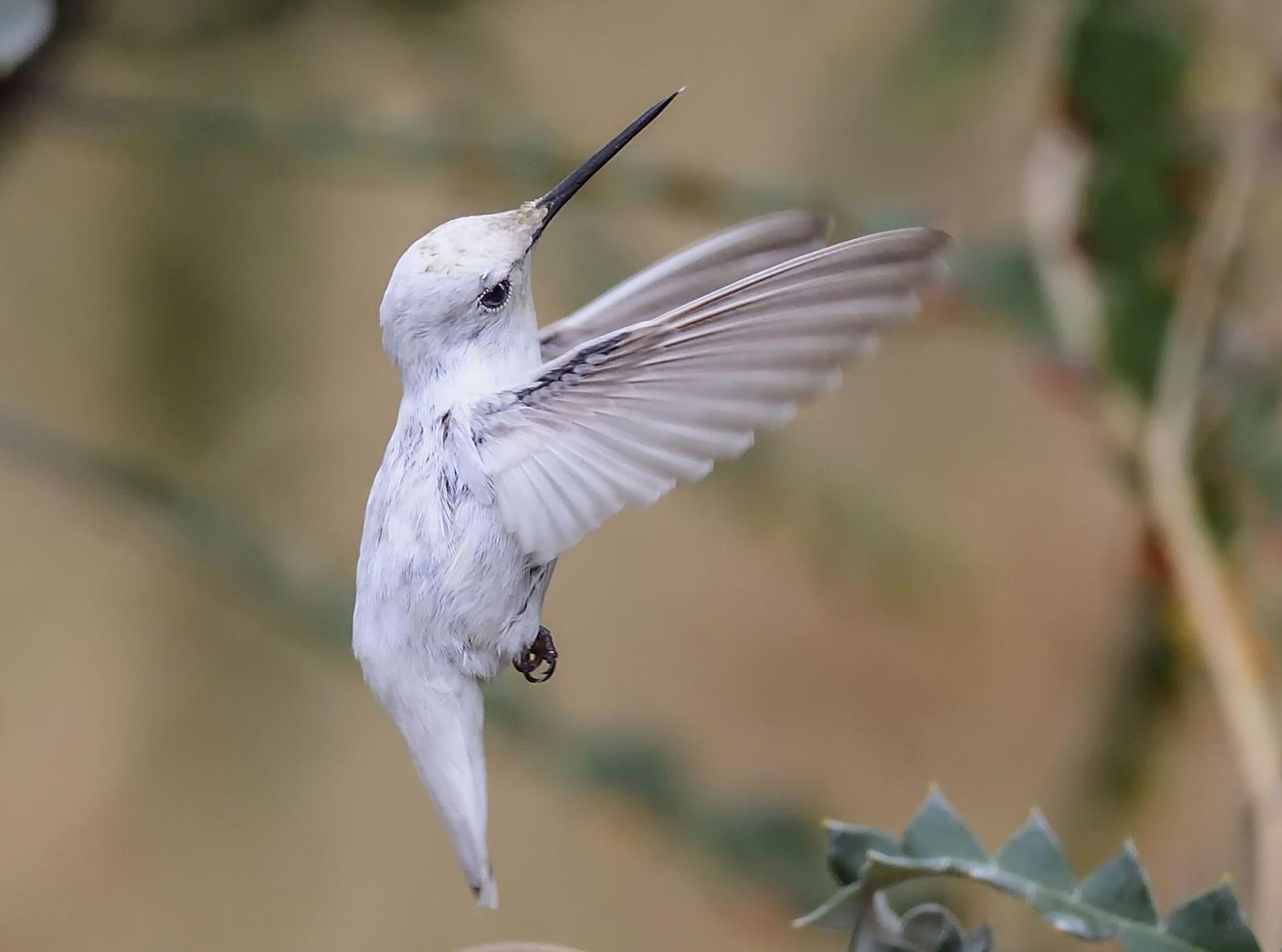 Rare White Hummingbird Steals the Spotlight at California Garden #albinoanimals