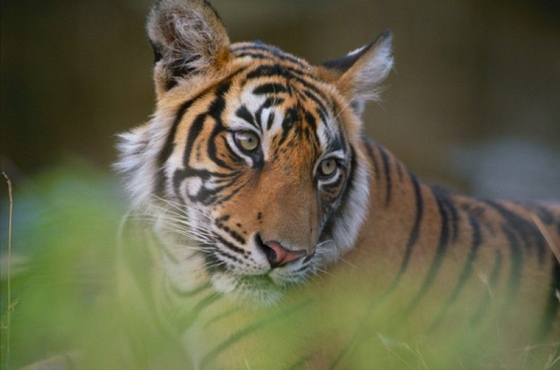 Tiger Fire Great Cat Tom Mangelsen Nature Images
