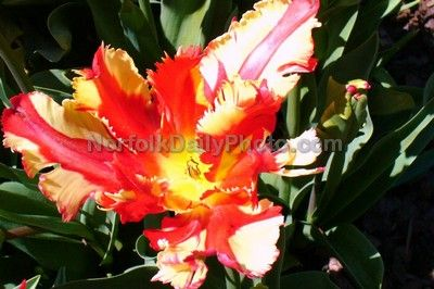 Jerusalemtulip The Flaming Parrot Tulip In The Tulips On Trial