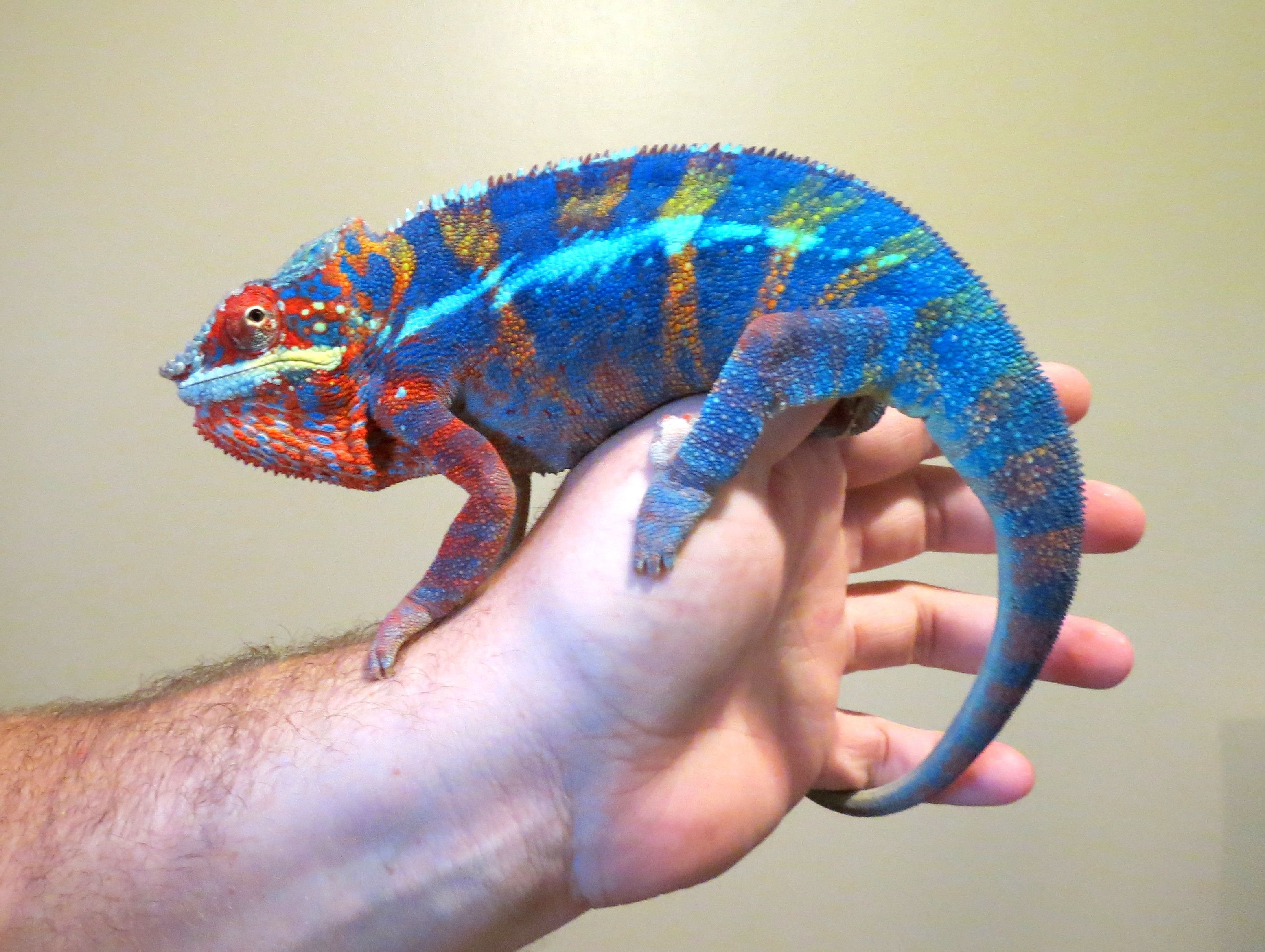 My pet is more colorful when he is angry Rainforest