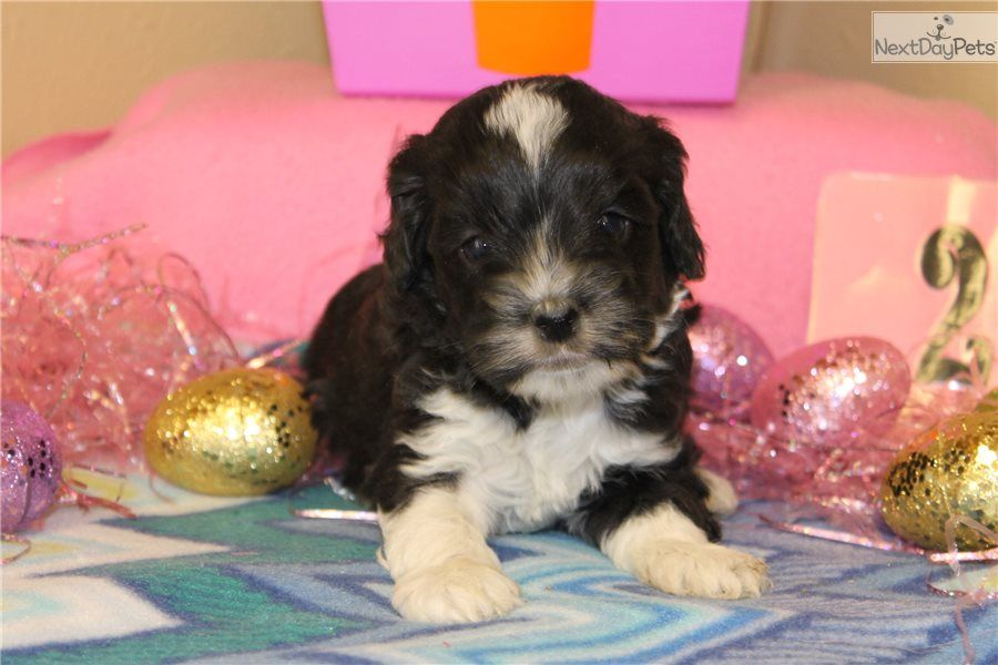 Cockapoo Puppy For Sale Near Omaha Council Bluffs Nebraska