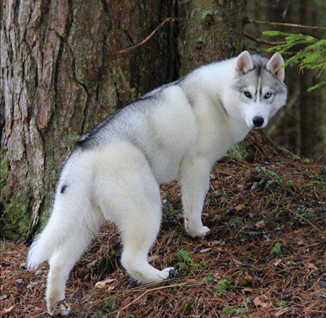 Shadow Wolf Husky Dogs Beautiful Dogs Siberian Husky