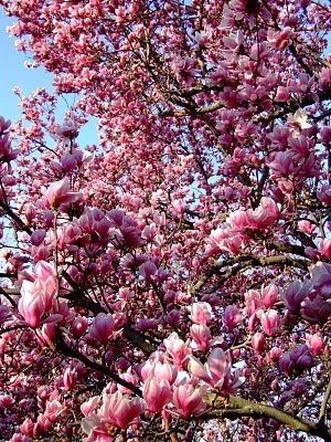 Japanese Magnolia Tree Also Comes In Dwarf Varieties I Want