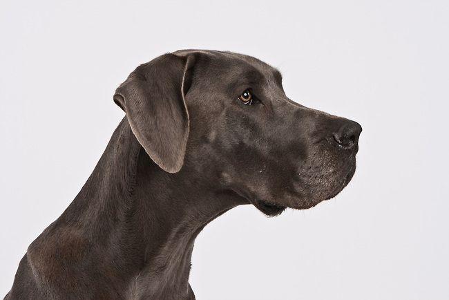 Black Great Dane Great Dane Dogs Great Dane Dog Photography