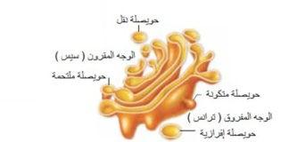الخلية النباتية 3 جهاز كولجي والجسيمات الحال ة والفجوات Floral Rings Gold Rings Floral