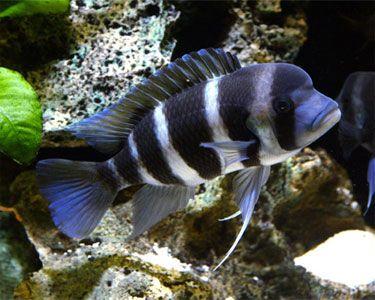 Frontosa Cichlid Cichlids Tropical Fish Aquarium Freshwater Aquarium
