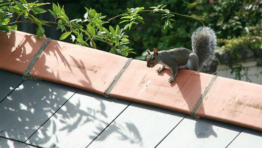 How To Keep Squirrels Out Of Your Attic Squirrel Mother Nature Baby Squirrel