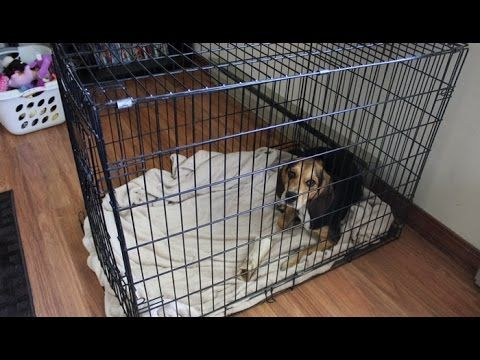 10 Lessons On Effectively Crate Training Adult Dog With Images