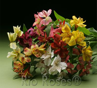 Rio Specialty Flowers Alstroemeria Alstroemeria Bouquet Alstroemeria Flowers