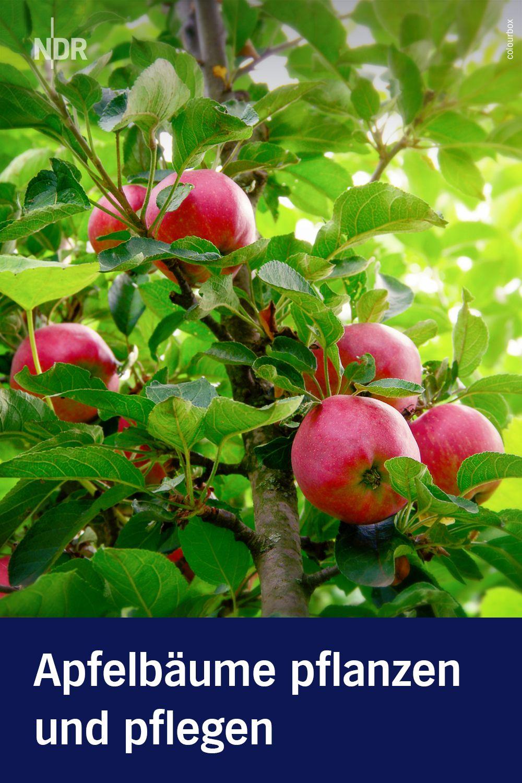 Apfelbäume Pflanzen