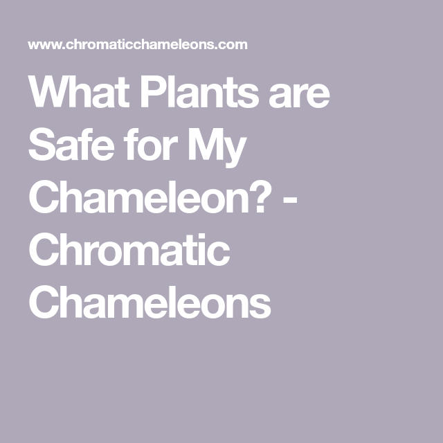 What Plants Are Safe For My Chameleon Chromatic Chameleons Chameleon Plants Bromeliads