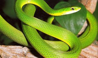 Rough Green Snake They Are My Favorite And Make Great Pets Easy To Care For Easy To Feed Easy To Handle Snake Rat Snake Green Snake