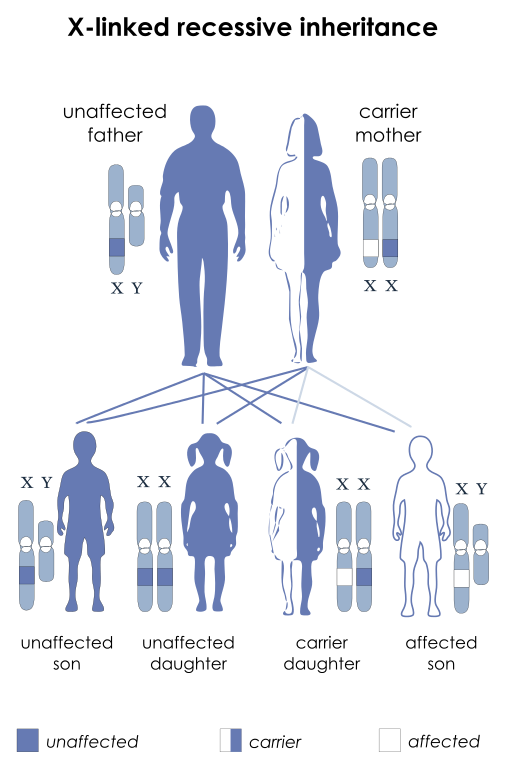X Linked Recessive Inheritance X Linked Recessive Inheritance Is