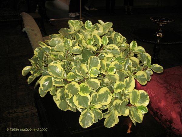Baby Rubber Plant Peperomia Obtusifolia Variegata My