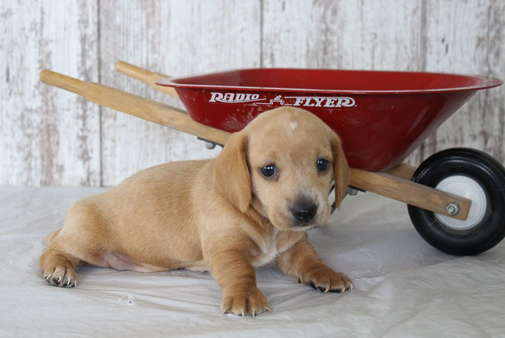 Wylie Akc Dachshund Puppy For Sale In Shipshewana Indiana Find