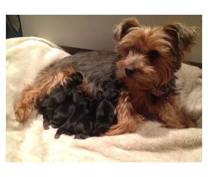 Yorkie Pups Just Born Taking Deposits Is A Female Male Yorkshire