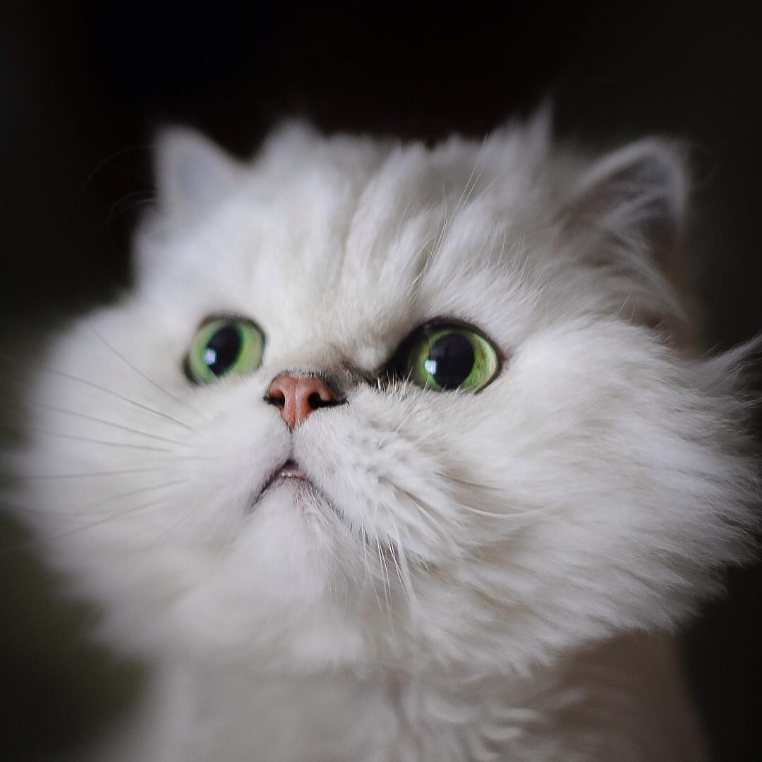 Beautiful White Cat With Green Eyes White Cat White Cats
